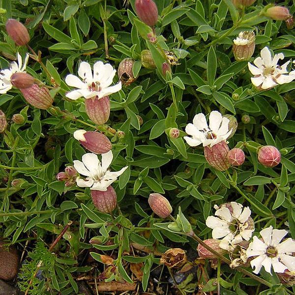 Silene-vulgaris-maritima